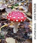 Red Fly Agaric. Toxic Mushroom...