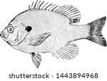 Bluegill Sunfish, vintage engraved illustration.