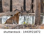 a tiger cub resting in the... | Shutterstock . vector #1443921872