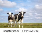 Small photo of Two black and white cows, friesian holstein, standing in a pasture under a blue cloudy sky and a faraway straight horizon on the isle Schiermonnikoog.
