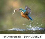 Common European Kingfisher ...