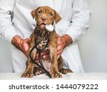 Stock photo young charming puppy at the reception at the vet doctor close up isolated background studio 1444079222