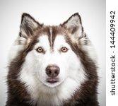 Siberian Husky Studio Shoot.