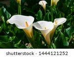 Zantedeschia Aethiopica  Known...