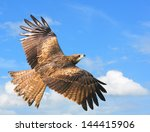 Black Kite   Showing Wing...