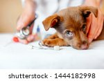 Stock photo puppy at the vet veterinary clinic 1444182998