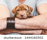 Stock photo young charming puppy in the hands of a caring owner close up white isolated background studio 1444183502