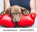 Stock photo young charming puppy men s hands and red boxing gloves close up white isolated background 1444194092