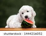 Golden Retriever Puppy Eating...