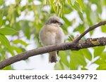 nestling of red backed shrike... | Shutterstock . vector #1444349792