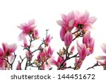 magnolia branch in morning time ... | Shutterstock . vector #144451672