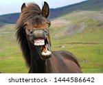 Stock photo icelandic horse gives a big smile 1444586642