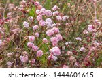 Wild California Buckwheat...