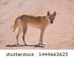 Wild Dingo in the outback desert country of Queensland, Australia.