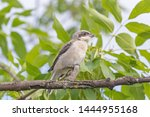 close up of red backed shrike... | Shutterstock . vector #1444955168