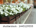 Blooming White Petunia In A...