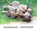 Stock photo dog and cat playing on the grass 144513365