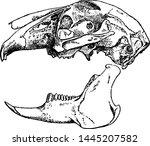 lepus timidus  vintage engraved ... | Shutterstock .eps vector #1445207582