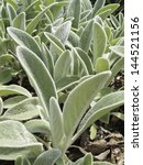 Lamb's Ear  Botanical Name ...
