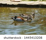 Ringed Teal Of South American...