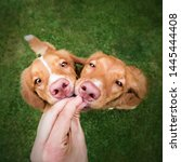 Stock photo two cute nova scotia duck tolling retriver puppies are given a treat hungry dogs dog training 1445444408