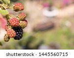 Ripening Blackberry Berries On...