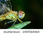 Stock photo showing of eyes dragonfly and wings detail beautiful dragonfly in the nature habitat 1445564465
