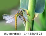 Stock photo showing of eyes dragonfly and wings detail beautiful dragonfly in the nature habitat 1445564525