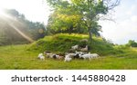 Herd Of Goats Grazing On The...
