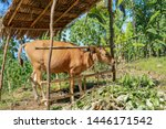 A Young Cow Grazes Under A...