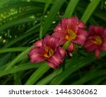 Three Red Lilies In A Row