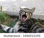 Stock photo sleepy kitten is yawning same time see pink tongue of kitten 1446512192