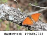 Goatweed Leafwing Butterfly...