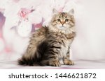 Stock photo siberian cats and kittens on beautiful neutral background perfect for postcards 1446621872