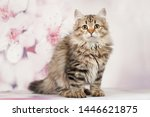Stock photo siberian cats and kittens on beautiful neutral background perfect for postcards 1446621875