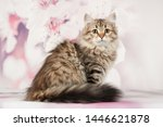 Stock photo siberian cats and kittens on beautiful neutral background perfect for postcards 1446621878