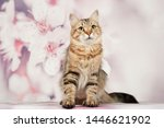 Stock photo siberian cats and kittens on beautiful neutral background perfect for postcards 1446621902