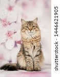 Stock photo siberian cats and kittens on beautiful neutral background perfect for postcards 1446621905