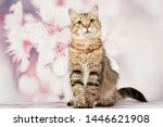 Stock photo siberian cats and kittens on beautiful neutral background perfect for postcards 1446621908