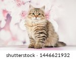 Stock photo siberian cats and kittens on beautiful neutral background perfect for postcards 1446621932