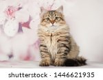 Stock photo siberian cats and kittens on beautiful neutral background perfect for postcards 1446621935