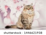 Stock photo siberian cats and kittens on beautiful neutral background perfect for postcards 1446621938
