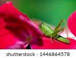 Green Grasshopper On Red Flowe...