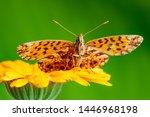 argynnis aglaja butterfly on...   Shutterstock . vector #1446968198