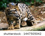 Clouded Leopard On The Stalk