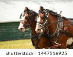 Team Of Working Clydesdale...