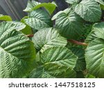 raspberry leaves in the garden. ... | Shutterstock . vector #1447518125