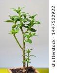 stylish plant crassula...   Shutterstock . vector #1447522922