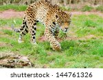 Jaguar  Panthera Onca  Walkin...