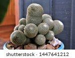 Close Up Cactus Mammillaria...